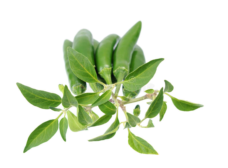 Download Green Jalapeno Peppers stock photo. Image of jalapenos - 33855100