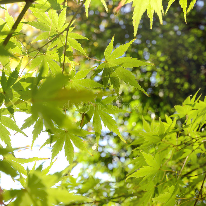 Green Japanese Maple leaves. stock photography