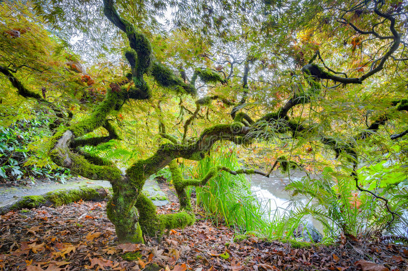 Green japanese maple tree stock image
