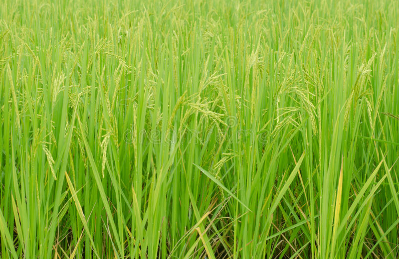 Green jasmine rice. Field in Thailand royalty free stock photography