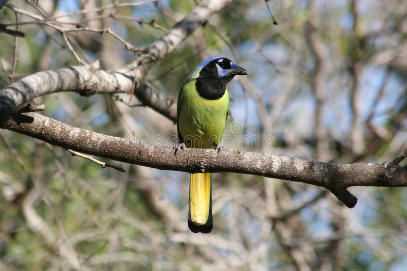 Green jay perched in a mesquite. In the United States, green jays are found only in extreme southern Texas. This bird is in its native habitat consisting of royalty free stock photography