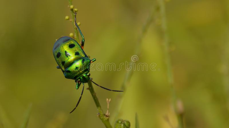 Green Jewel bug with one leg visible royalty free stock photo