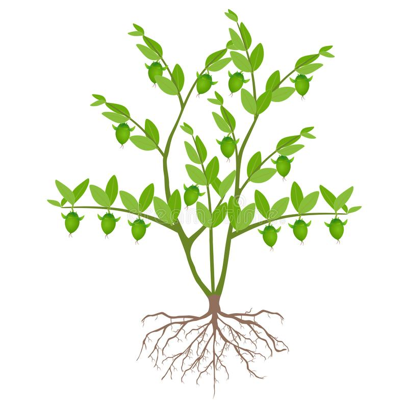 Green jojoba bush with roots on a white background. royalty free illustration