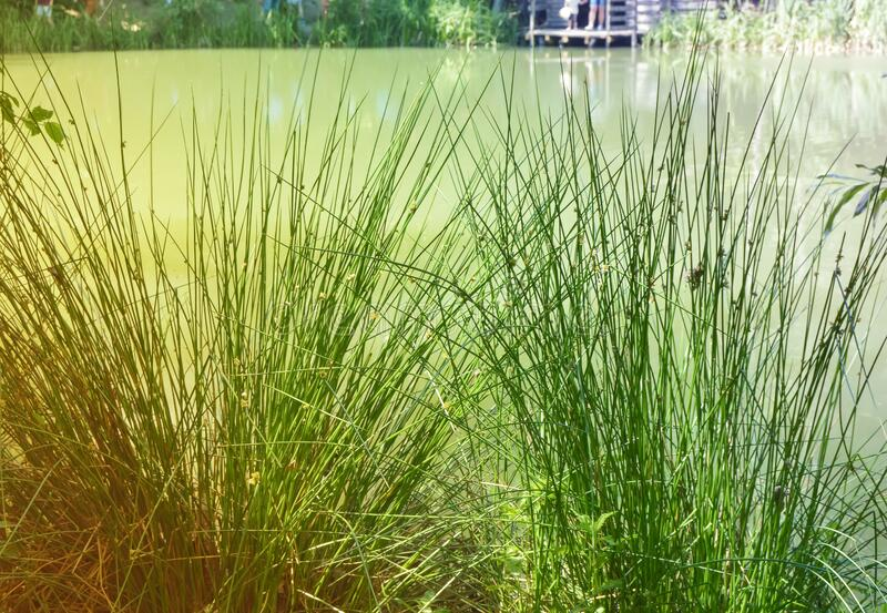 Green juicy grass in the foreground, reeds grow on the Bank of a muddy pond on a Sunny summer day.  stock image