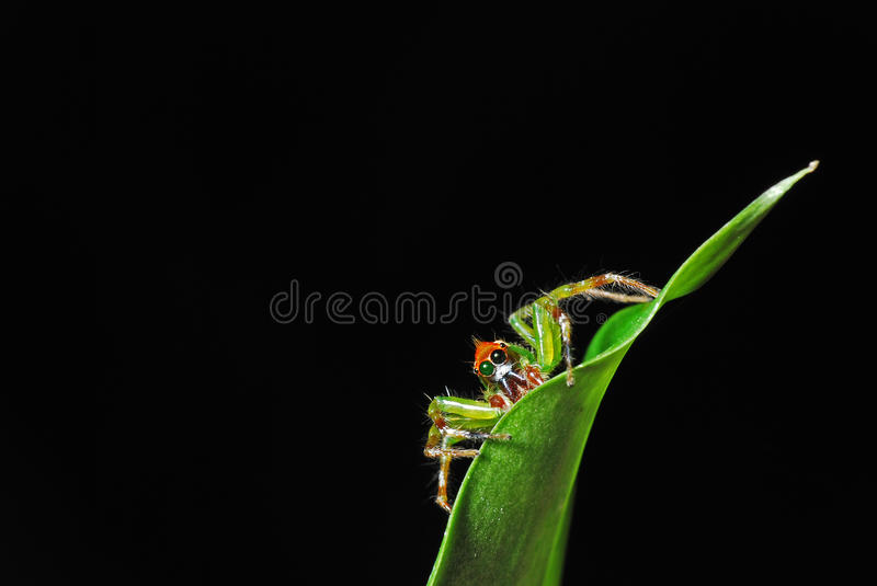 Download Green Jumping Spider Stock Images - Image: 27605054