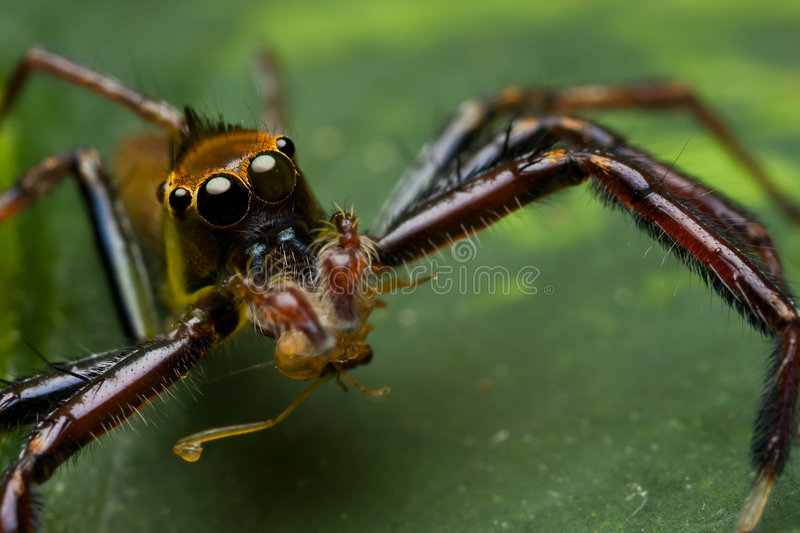 Download Green jumping spider stock image. Image of nature, spider - 7654065