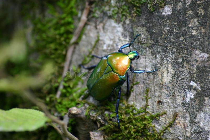 Green June Beetle on Tree Bark With Green Mosh in Closeup Photo royalty free stock photos