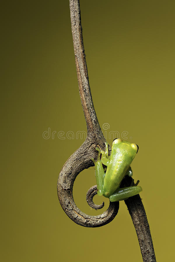 Download Green Jungle Tree Frog On Twig Copy Space Stock Photo - Image: 14088914