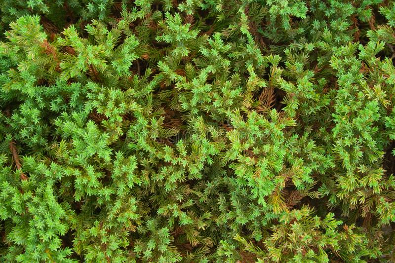 Green juniper background royalty free stock photography