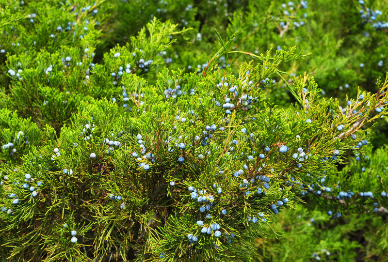 Green juniper with juniper berry stock images