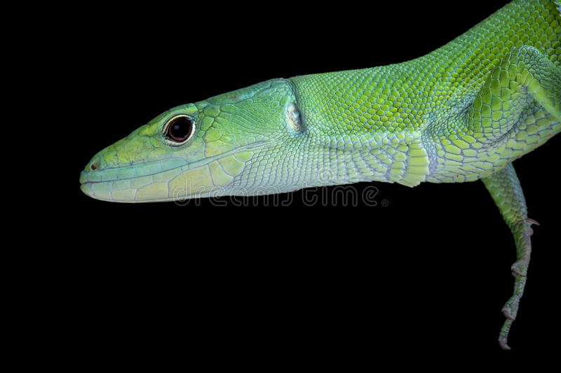 Green Keel-bellied Lizard (Gastropholis prasina). The Green Keel-bellied Lizard (Gastropholis prasina) is a rare treetop inhabitant and found in Tanzania and stock photo