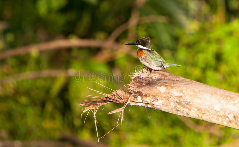 Download Green Kingfisher Stock Images - Image: 26827874