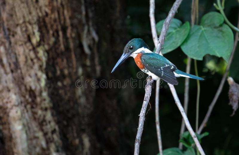 Green kingfisher Chloroceryle americana, adult male stock images
