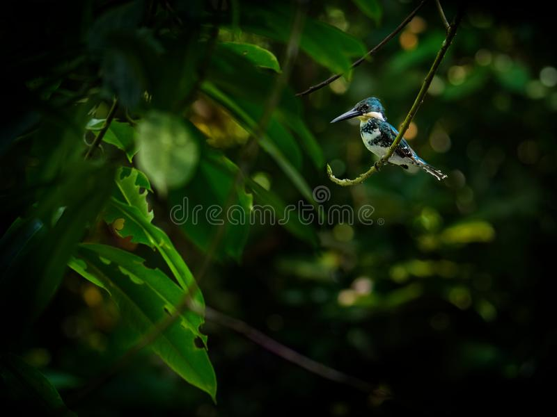 Green Kingfisher - Chloroceryle americana  resident breeding bird which occurs from southern Texas in the United States south. Through Central and South America stock photo
