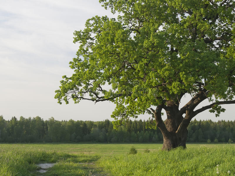 Green krone of a sprawling old oak tree. stock image