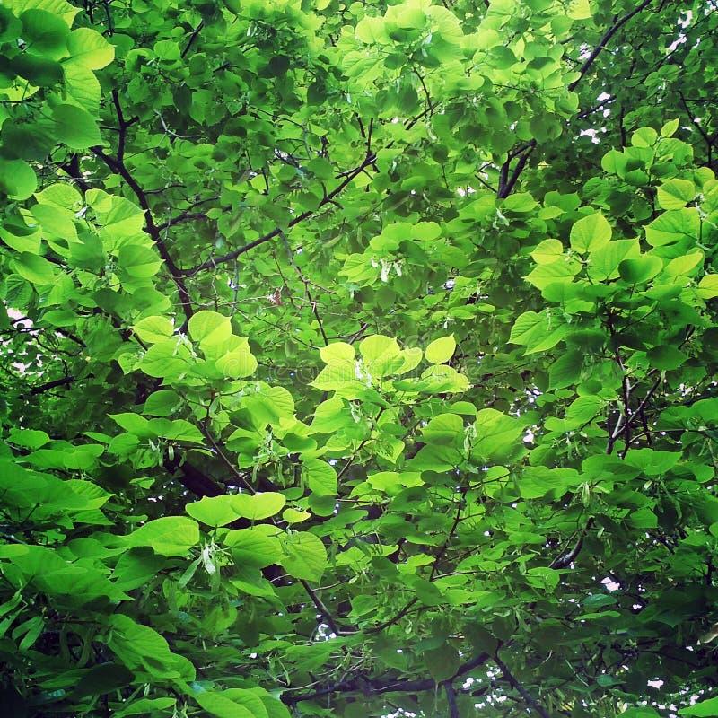 green låter vara lindenen royaltyfri bild