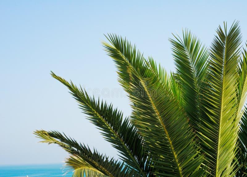 green låter vara palmträdet fotografering för bildbyråer