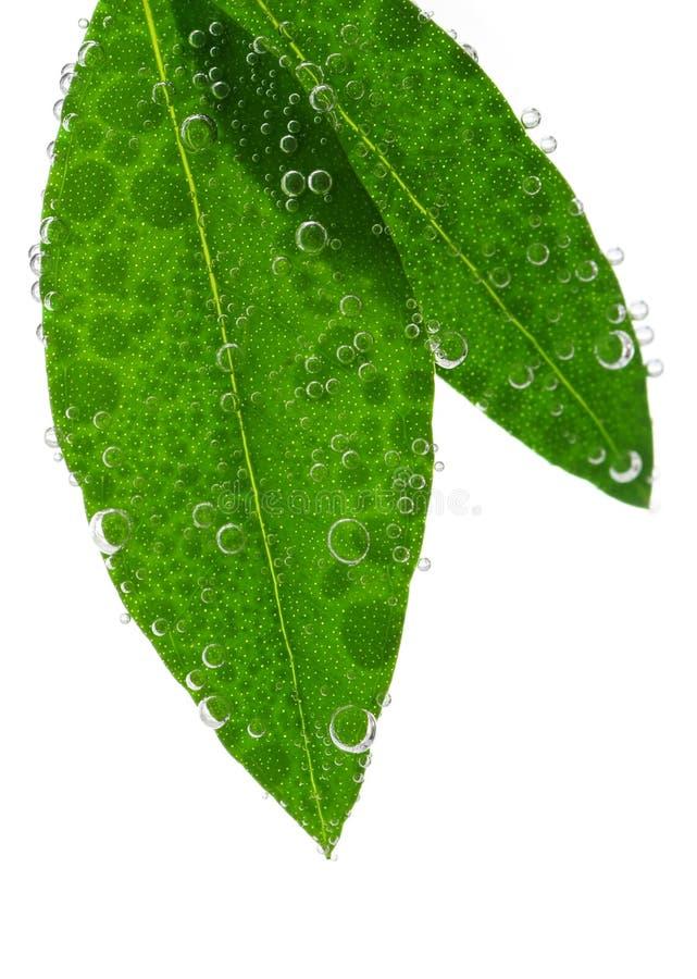 green låter vara vatten royaltyfri bild