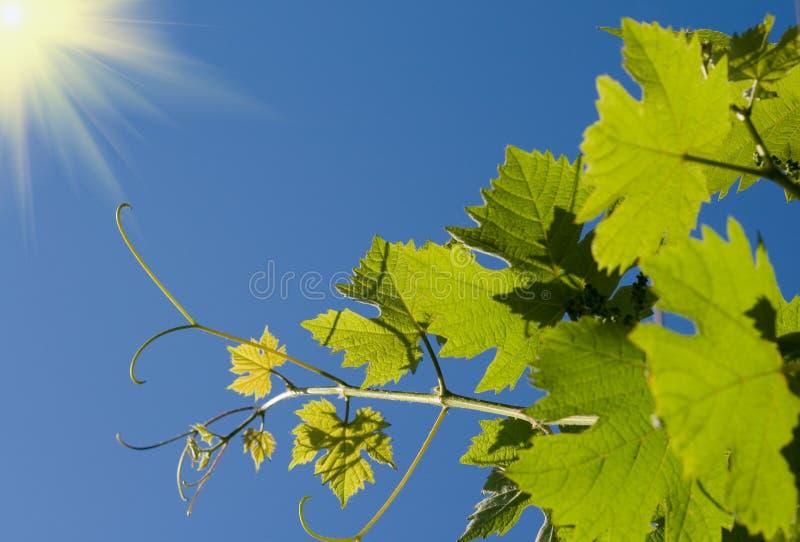 green låter vara vinen royaltyfria bilder