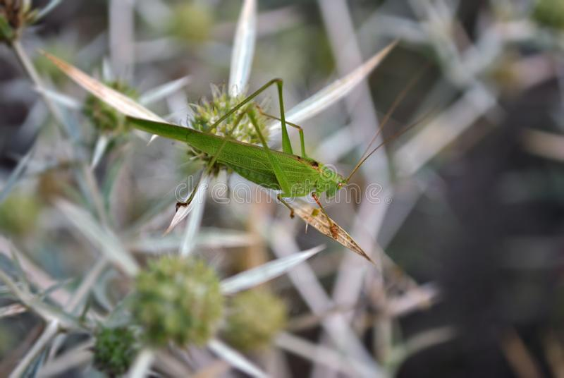 Green large grasshopper sitting on the Eryngium campestre. Eryngium stock photo