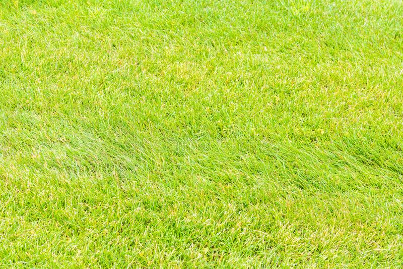 Green lawn for background. Green grass background texture. Summer sunny day stock photo