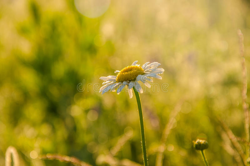 on a green lawn in the early foggy morning royalty free stock photography