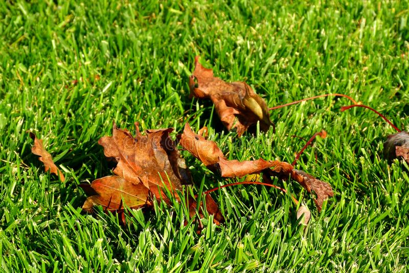 Green lawn in the fall with brown fallen sycamore leaves royalty free stock photos
