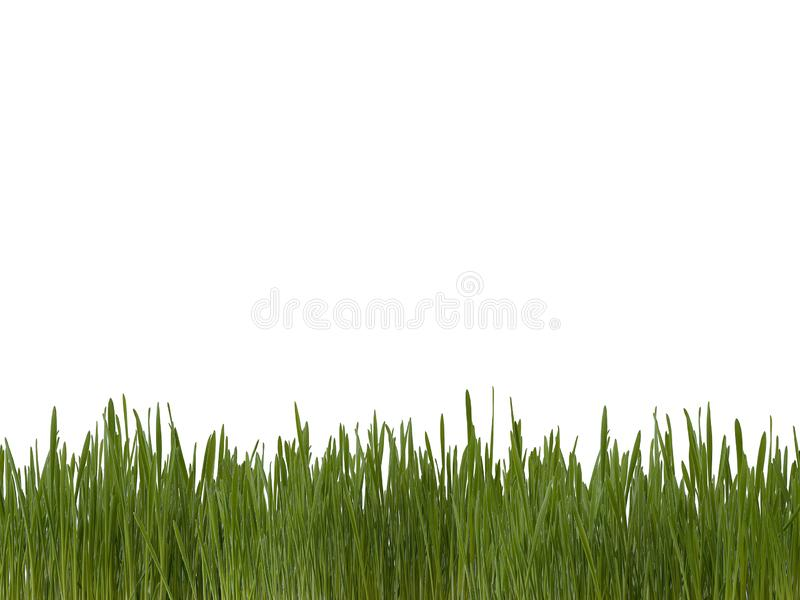 Green lawn of fresh bright grass sprouts on white background stock images