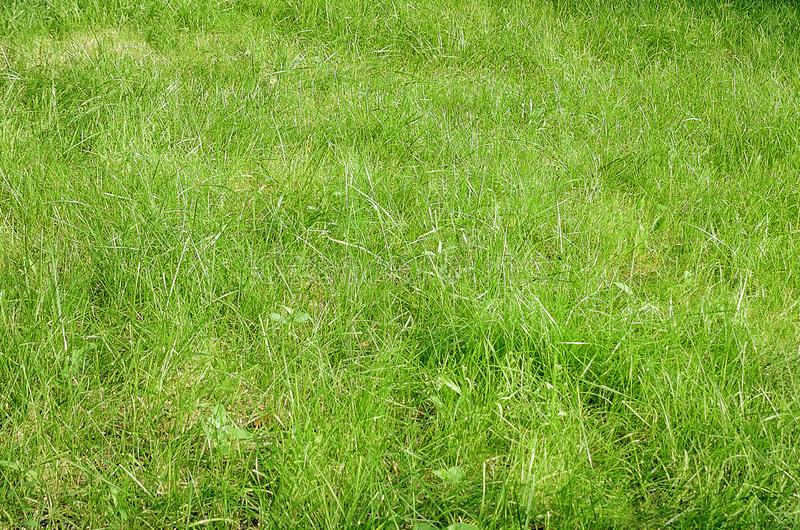 Green lawn, grass texture. Close-up royalty free stock image