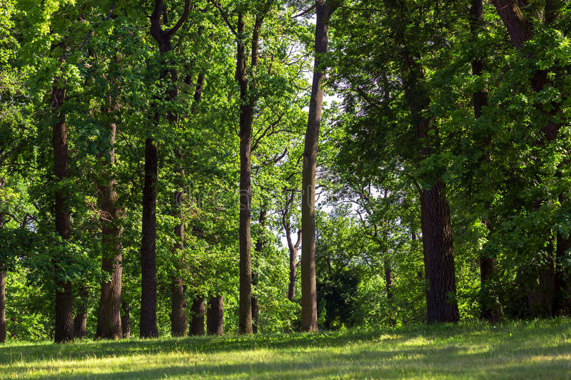 The green lawn in the oak forest. royalty free stock image