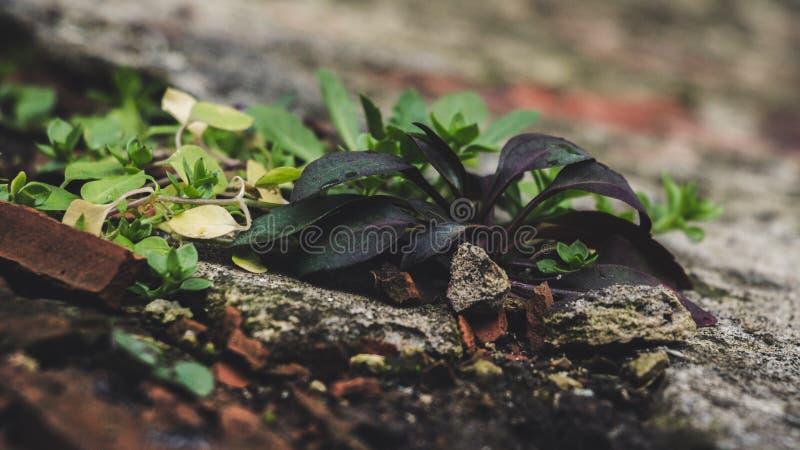 Green Lead Plant stock photos