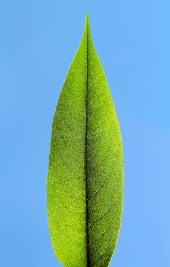 Download Green Leaf stock image. Image of veins, green, leaf, blue - 13989995