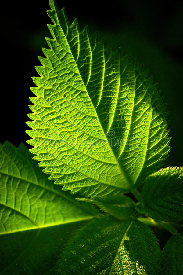 Download Green leaf stock image. Image of detail, nature, vegetation - 14438907