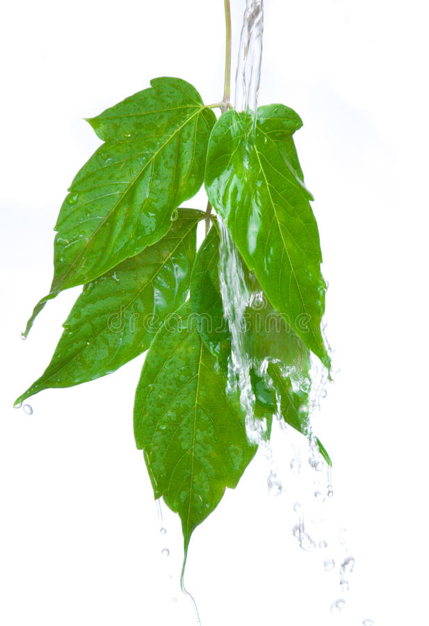 Free Green Leaf Royalty Free Stock Images - 15285019