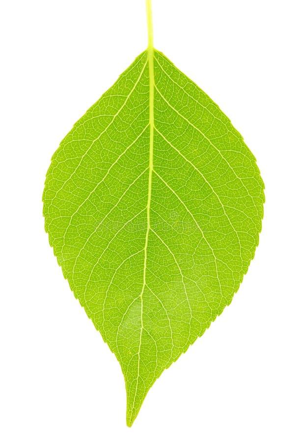 Free Green Leaf Stock Photo - 16670420