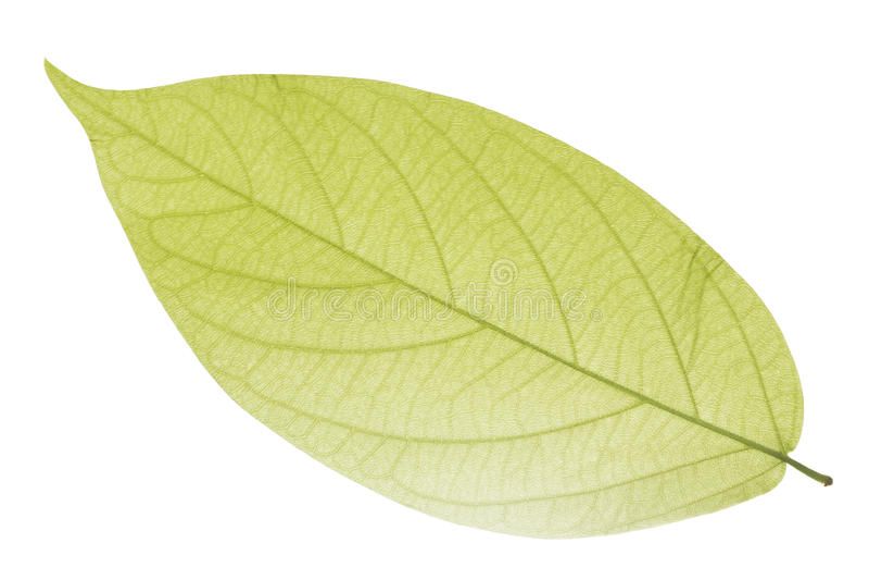 Download Green Leaf Royalty Free Stock Image - Image: 22454986