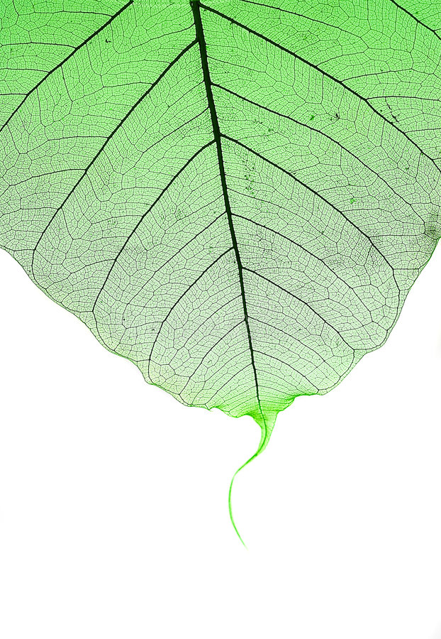 Download Green Leaf Royalty Free Stock Photography - Image: 2317407