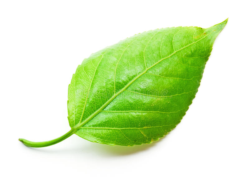 Download Green leaf stock image. Image of beauty, nature, lush - 26694069