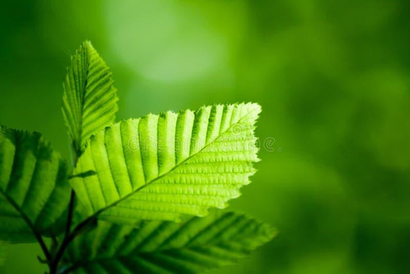 Green leaf. Fresh forest afternoon - sunlit leaf stock photos