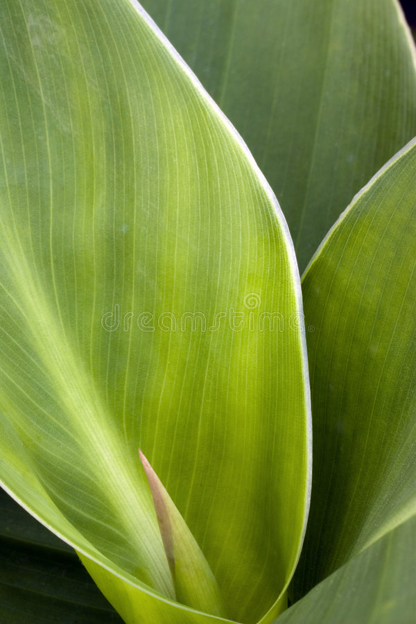 Green leaf. Macro Detail of Green Leaf royalty free stock image