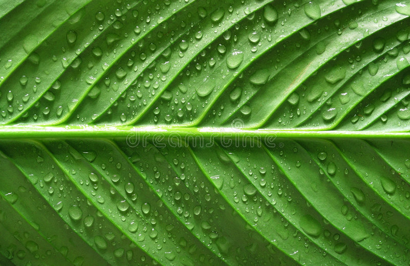 Download Water drops on green leaf stock image. Image of veins - 8375377