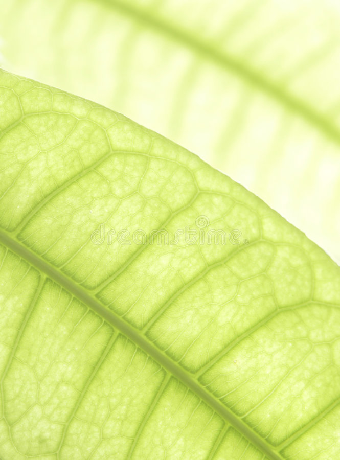 Green leaf. Close up on green leaf stock photography