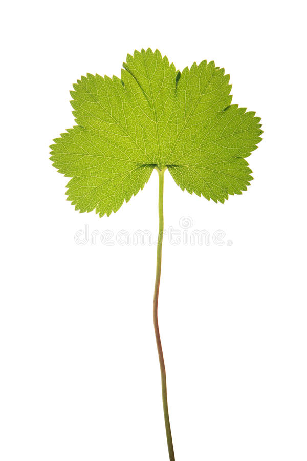 Green leaf of Alchemilla vulgaris isolated on white. Green leaf of Alchemilla vulgaris (Common lady's mantle) isolated on white stock photography