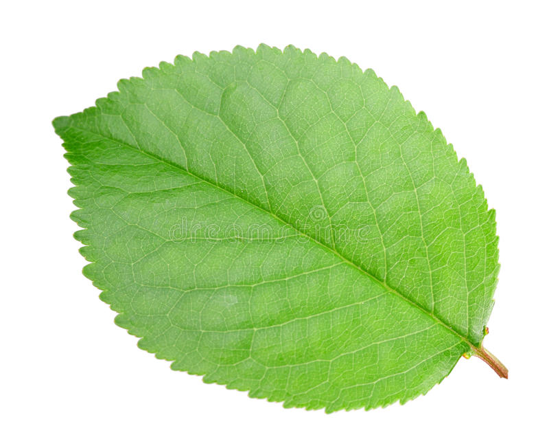 Green leaf of apple-tree stock photo. Image of floral ...