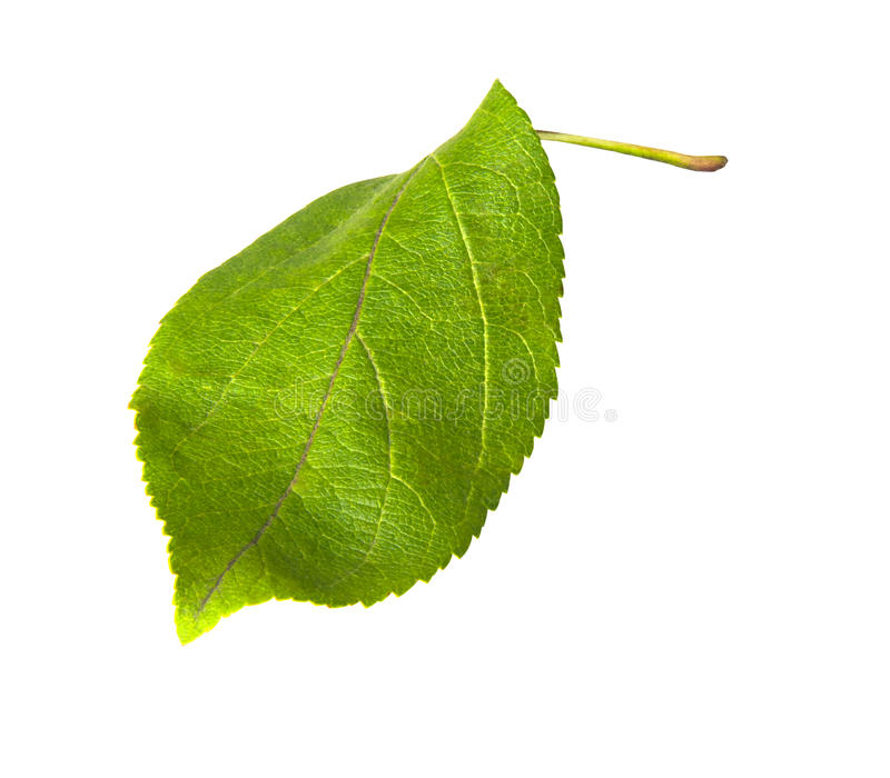 Green leaf of apple tree isolated on white. stock photos