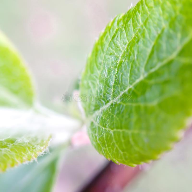 Green leaf of an apple tree. Macro. Green leaf of an apple tree. Closeup royalty free stock photos