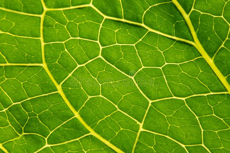 Green leaf Armoracia close-up, texture Leaf Horseradish close up. Macro. Armoracia rusticana. Armoracia royalty free stock photo