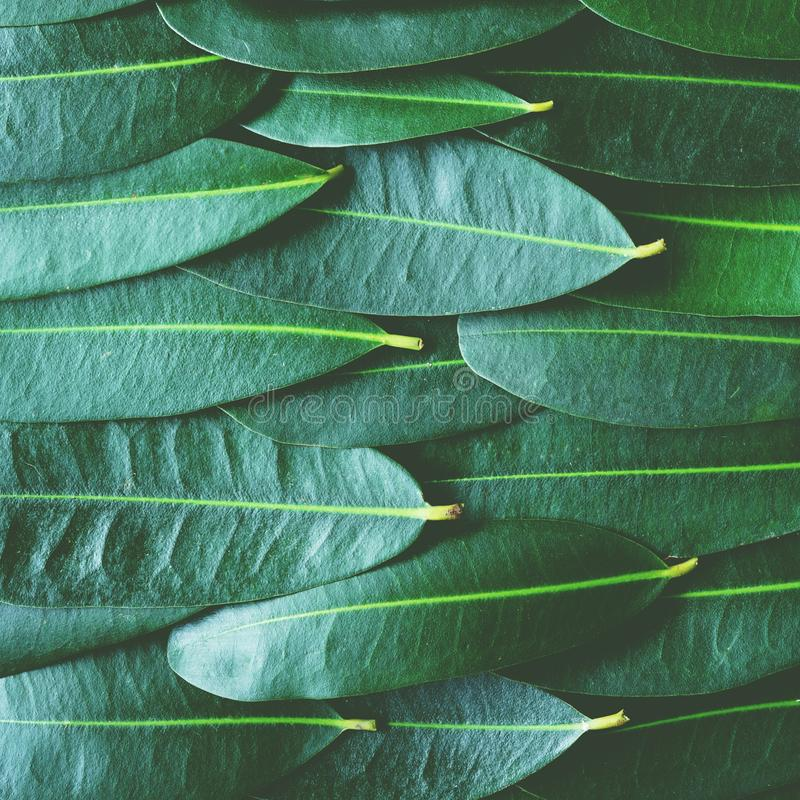 Green leaf arranged into pattern texture background, tropical nature wallpaper texture, copy space. 1:1. Green leaf arranged into pattern texture background royalty free stock photography