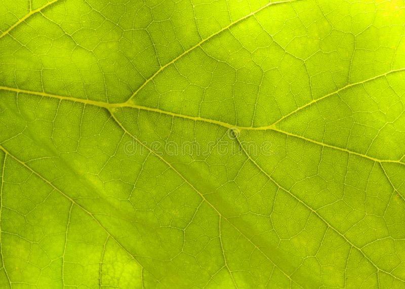 Green leaf background.macro photography.. background for your. Green leaf background.macro photography.background for your project.Flat position, top view, copy stock photo