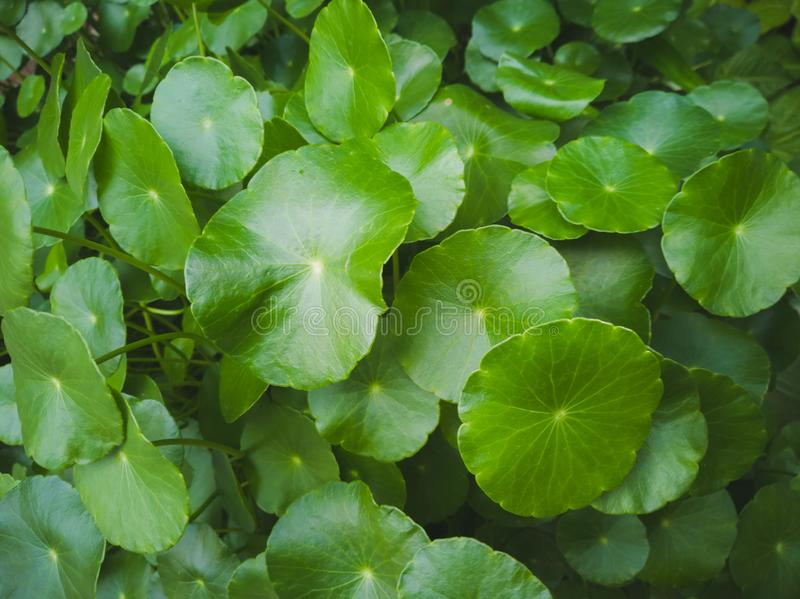 Green leaf background with many rounded leaves. royalty free stock image